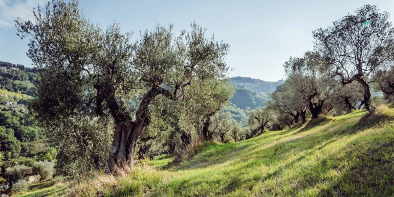 6 -Olive grove