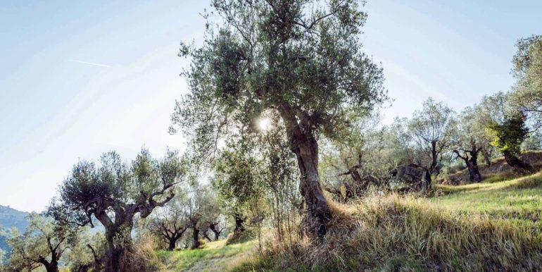 7- Olive trees