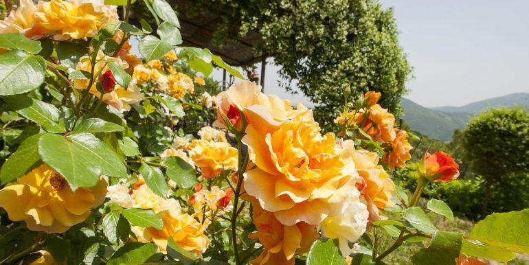 12-s574-beautiful yellow roses-Prato di sopra